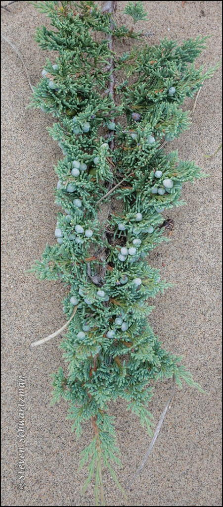 Creeping Juniper with Fruit 7693