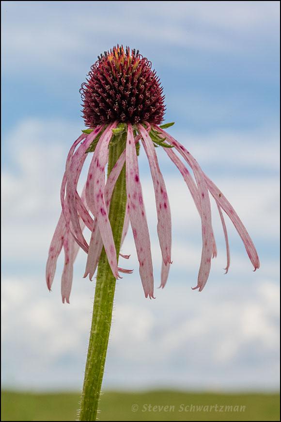 Echinacea pallida 6763