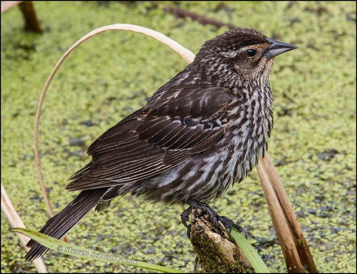 Female Redwing Blackbird 7224