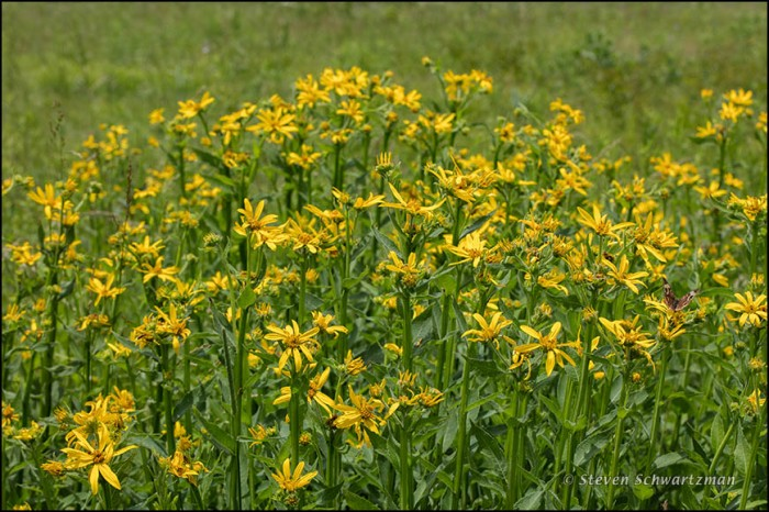 """""""Verbesina helianthoides. It's having a great year. My prairie reconstruction site has an increasing amount of it. This is the plant several sources claim is a """"savanna"""" or """"open woodland"""" plant, but it thrives in many prairies."""""""