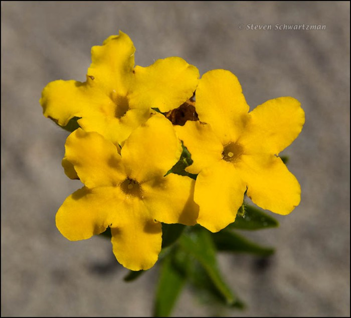 Hairy Puccoon Flowers Close 7065