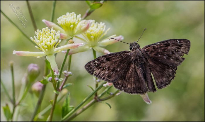 Horace's Duskywing Butterfly on Clematis drummondii Flowers 0558