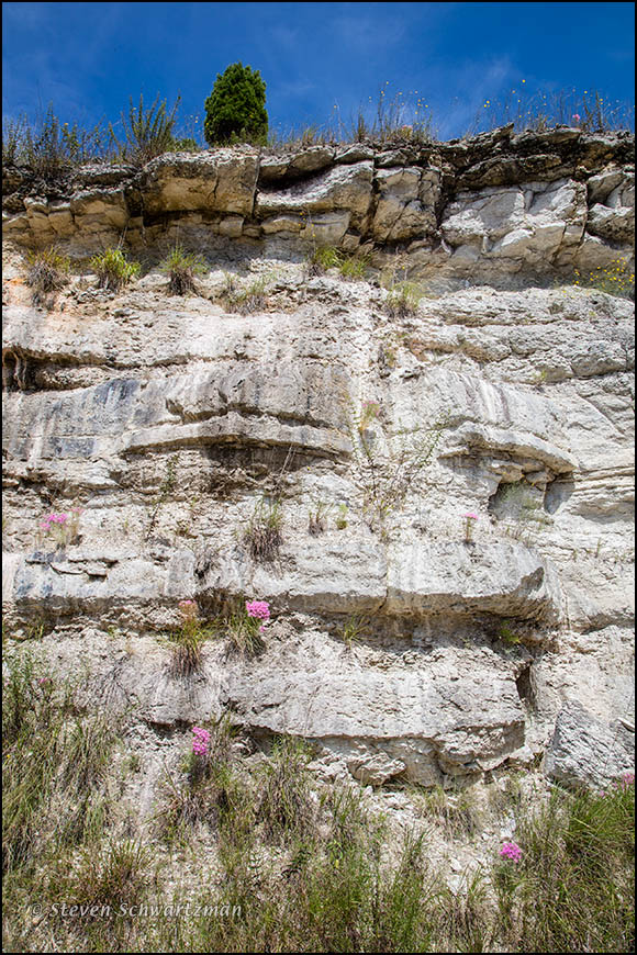 Mountain Pinks Flowering on Cliff Face 9449