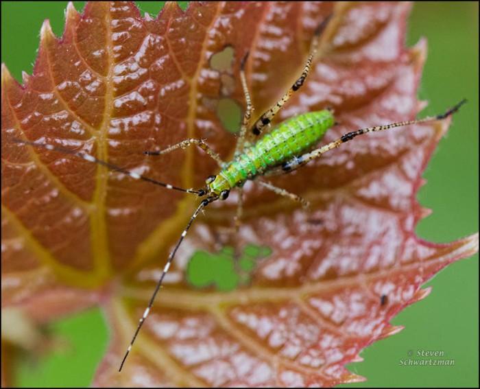 Nymph on Vitis riparia Leaf 7168