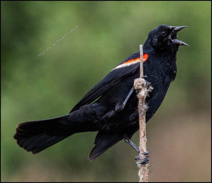 Redwing Blackbird on Cattail Remains 7214A