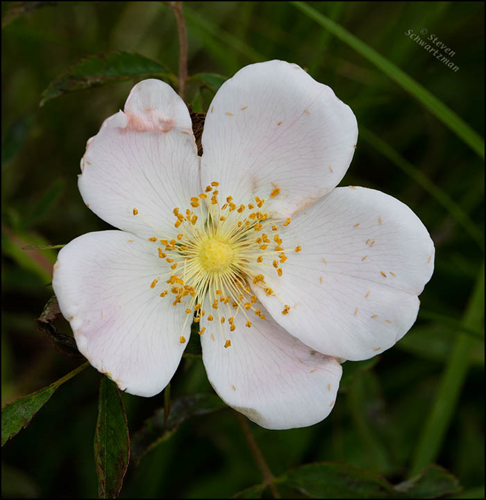 Rosa carolina Flower 6730