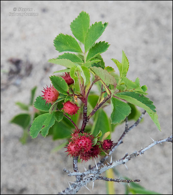 This is likely Rosa carolina but the fruit are distorted because of the Spiny rose gall wasp (Diplolepis bicolor).