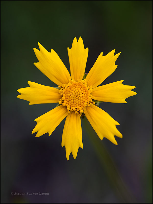 Sand Coreopsis Flower Head 7010