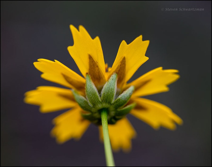 Sand Coreopsis Flower Head from Behind 7015
