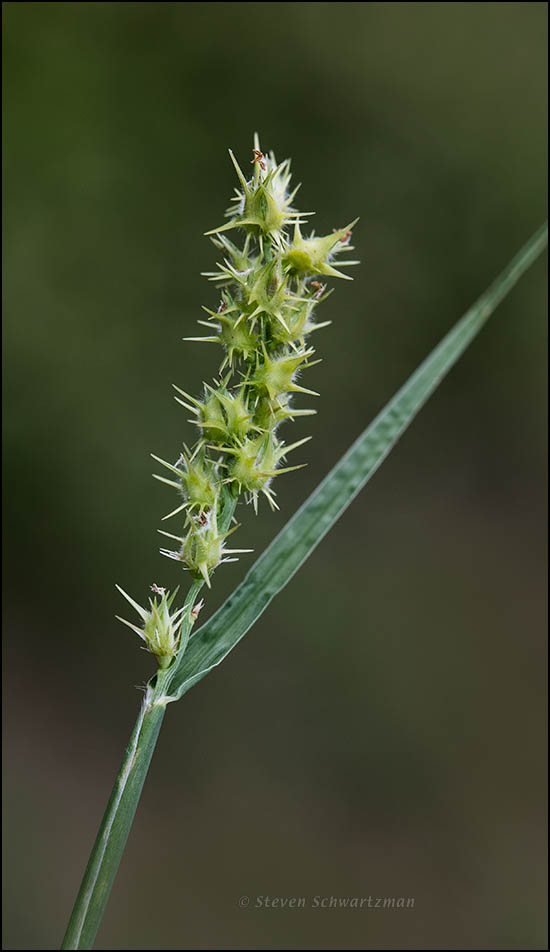 Sandbur Seed Head 0621