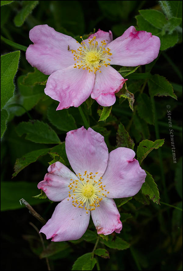 Two Rosa carolina Flowers 6775