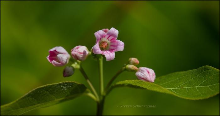 Dogbane Flowers 8115