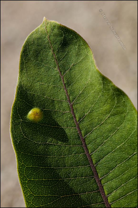 Gall on Common Milkweed Leaf 7886