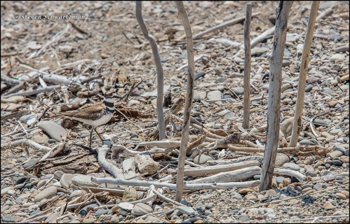 Killdeer Near Nest on Beach 8021B