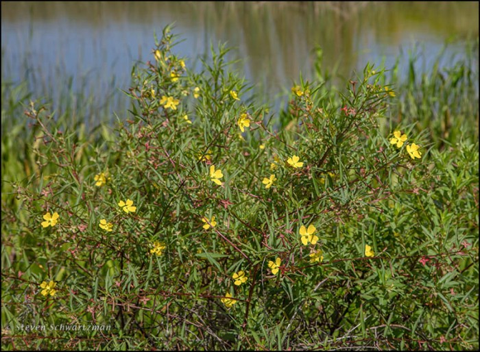 Ludwigia Flowering by Pond 0983