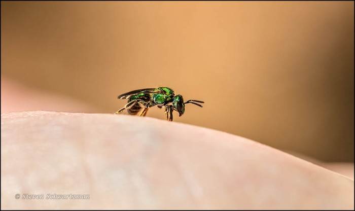 Metallic Green Bee on the Palm of My Hand 8821