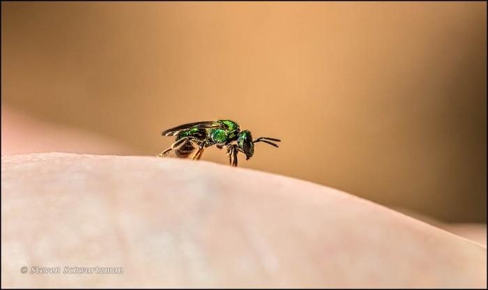 Metallic Green Bee on the Palm of My Hand 8821