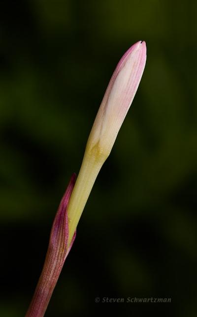 Rain Lily Bud 4025