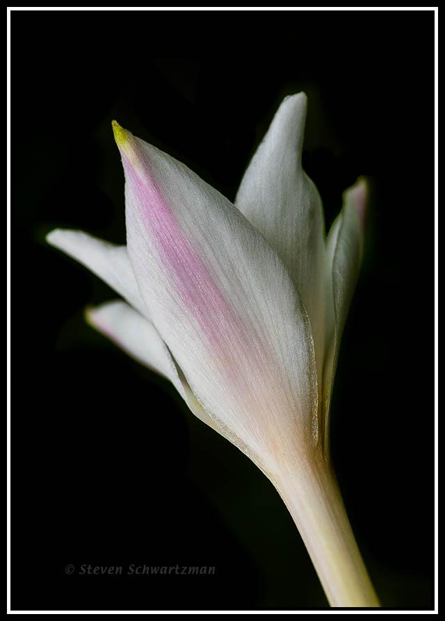 Rain-Lily Flower 3807