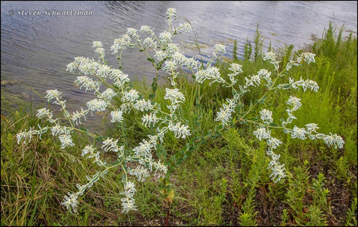 Snow-on-the-Mountain Flowers and Bracts by Pond 7661