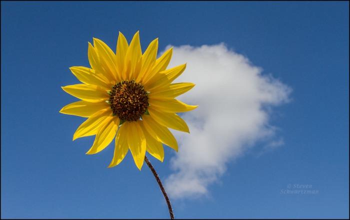 Sunflower Flower Head and Cumulus Cloud 5263