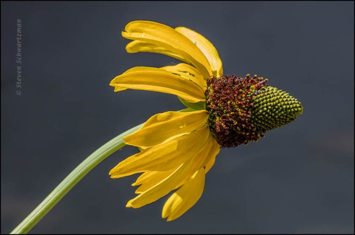 Swamp Coneflower Flower Head 8764