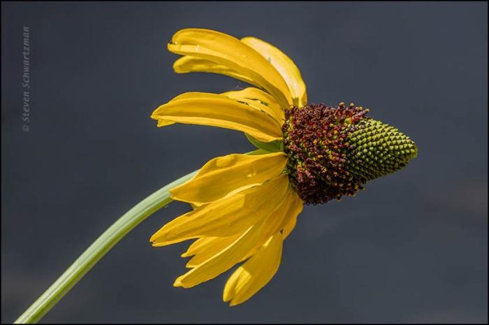 Swamp Coneflower Flower Head 8764