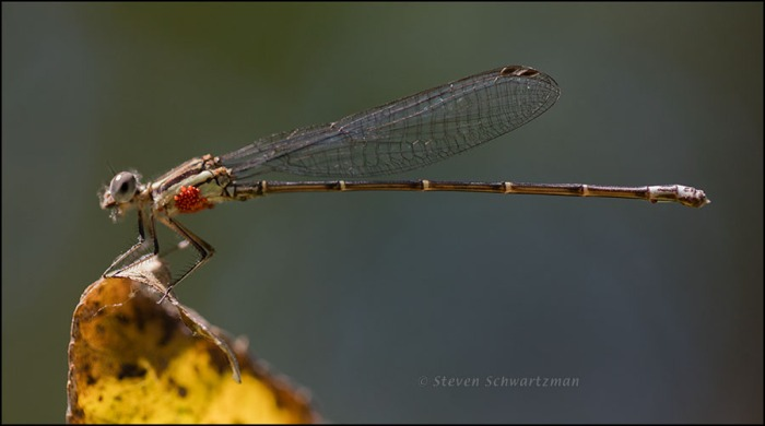 Tiny Damselfly 2955