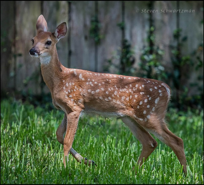 White-Tailed Deer Fawn 9883
