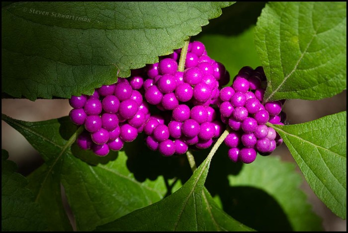 american-beautyberry-fruit-0468