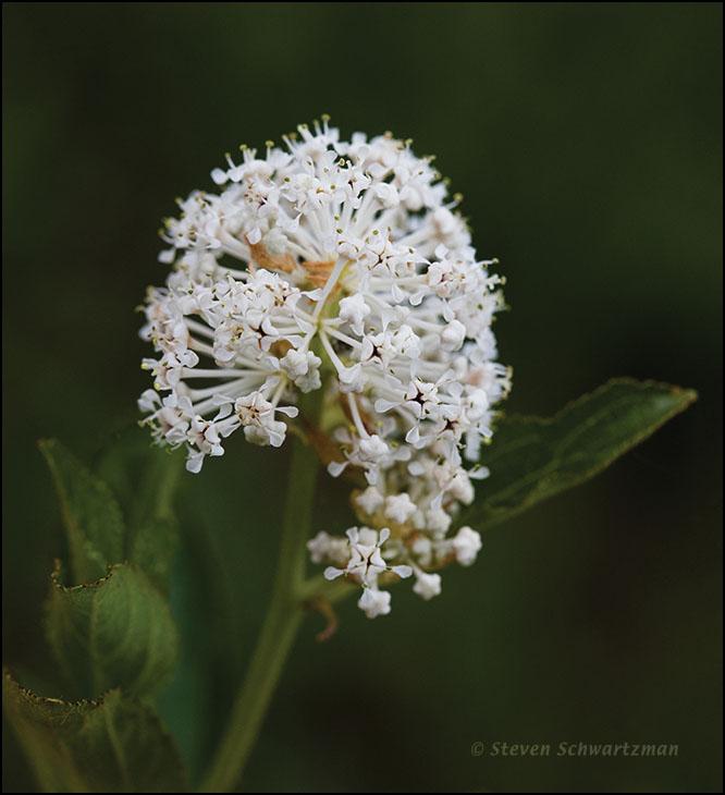 ceanothus-ovatus-flowers-6843