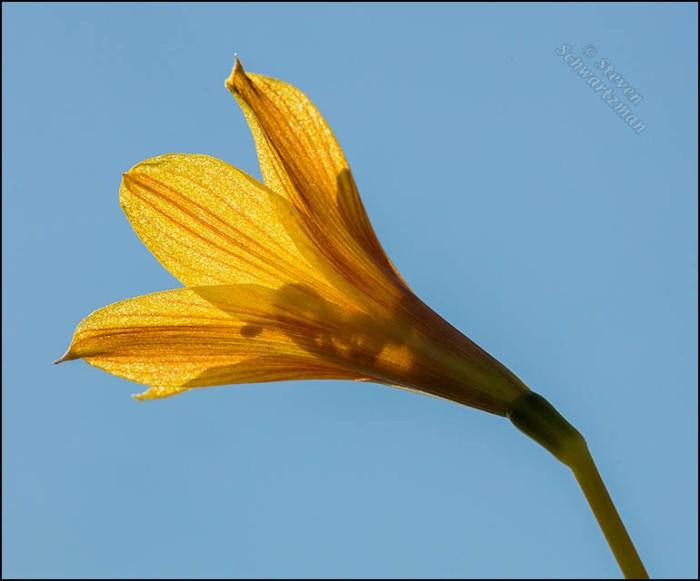 Copper Lily Flower Backlit 8064