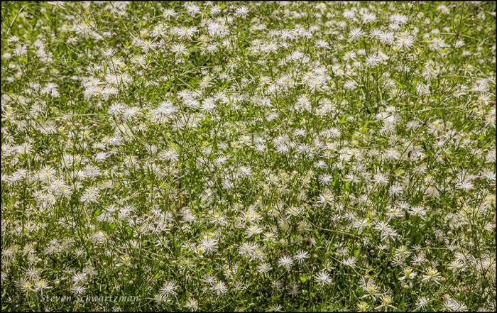dense-clematis-drummondii-flowers-9641