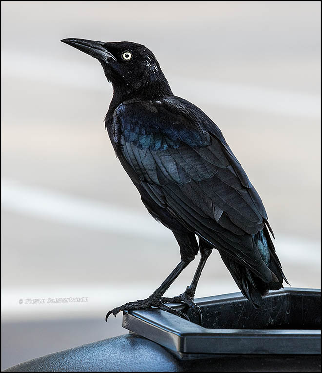 grackle-on-trash-receptacle-9746