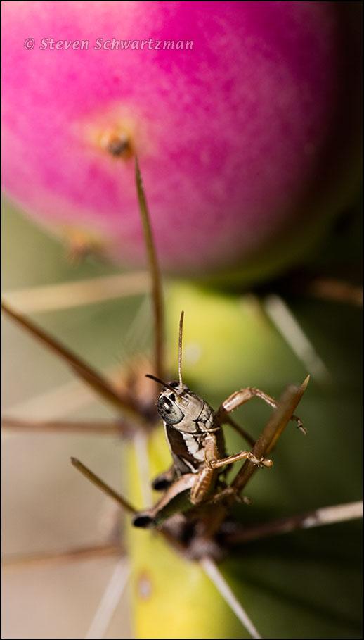 grasshopper-on-prickly-pear-pad-by-tuna-0091