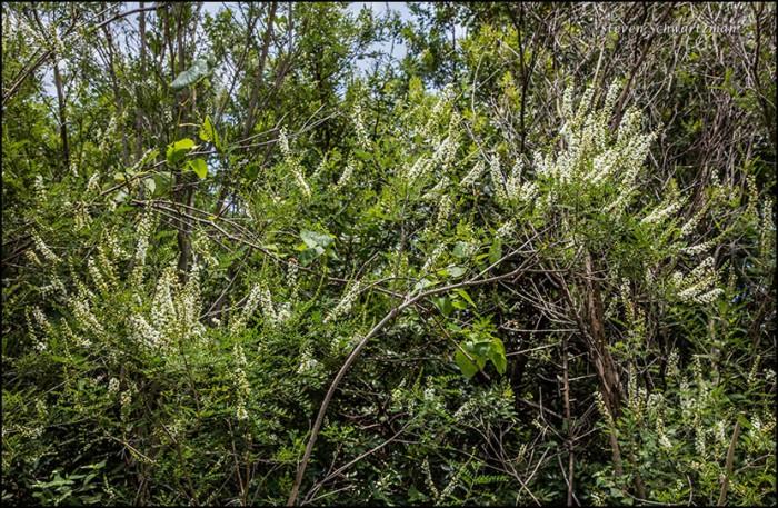 kidenywood-trees-flowering-9174
