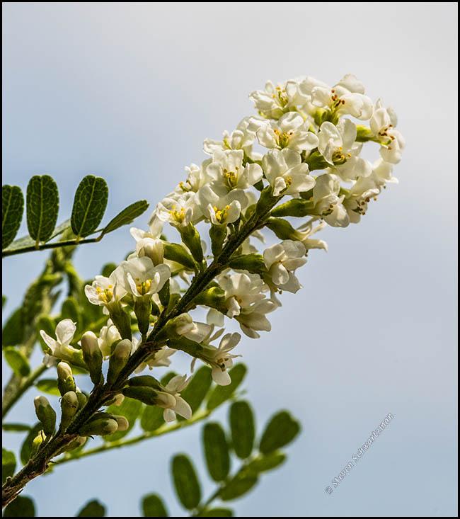 kidneywood-flowering-9269