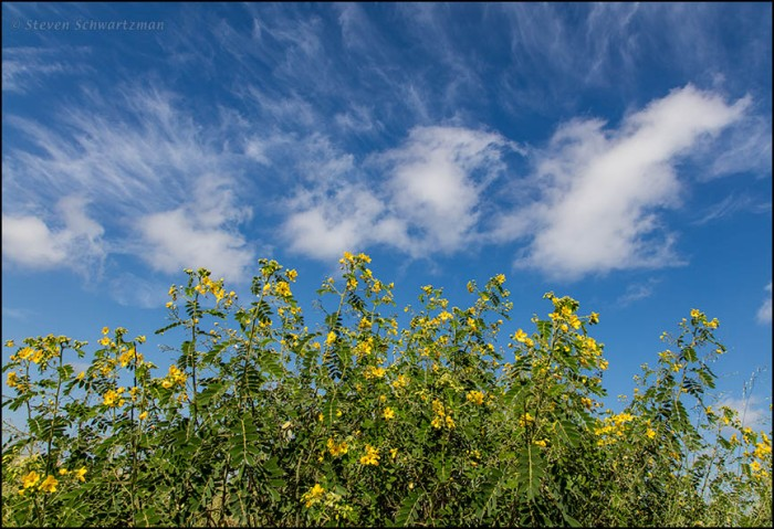 lindheimers-senna-flowering-with-clouds-9877