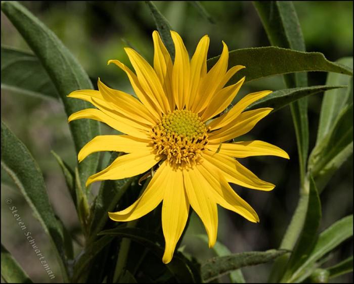 maximilian-sunflower-flower-head-9541