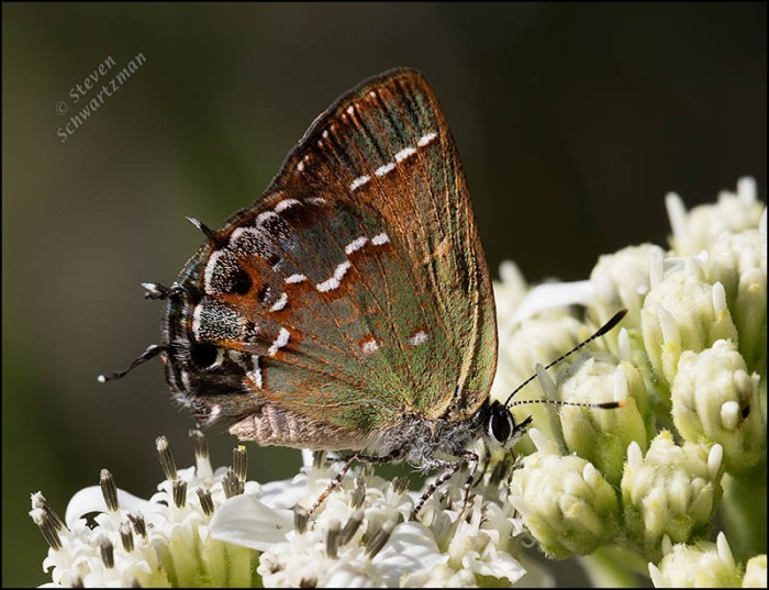 olive-hairstreak-butterfly-on-frostweed-flowers-0270a