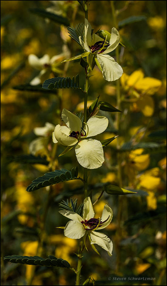 pale-yellow-partridge-pea-flowers-9436