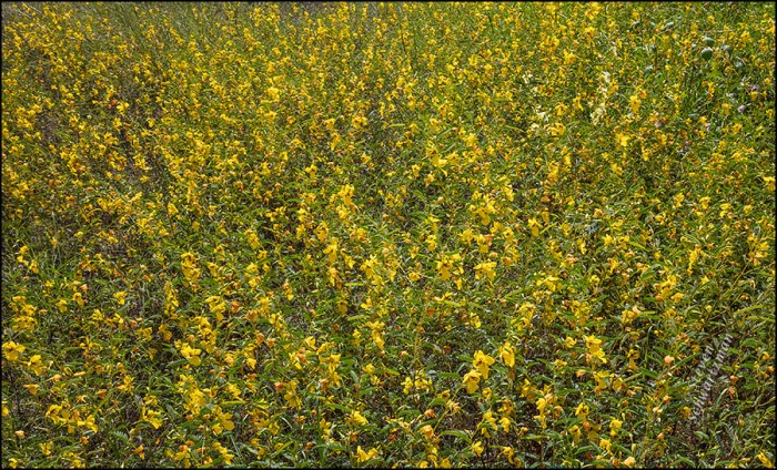 partridge-pea-colony-flowering-9420