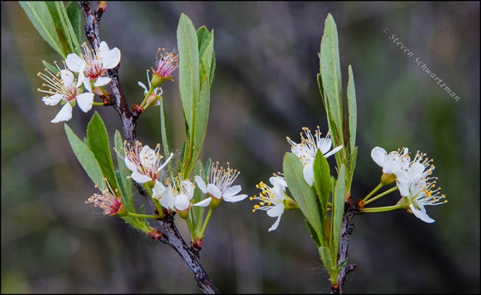 sand-cherry-flowering-7764a
