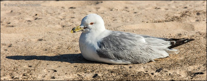 Seagull Nestled Down on Beach 8243