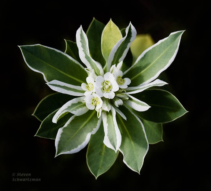 Snow-on-the-Mountain Inflorescence from Above 7046