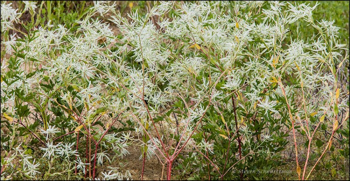 Snow-on-the-Prairie Flowering 8272A