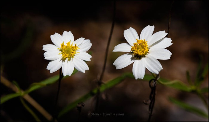 two-blackfoot-daisy-flower-heads-0182