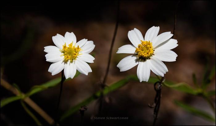 two-blackfoot-daisy-flower-heads-0182