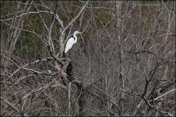 White Egret in Dead Trees 8174