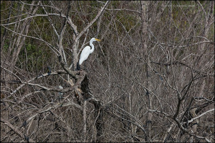 White Egret in Dead Trees 8174
